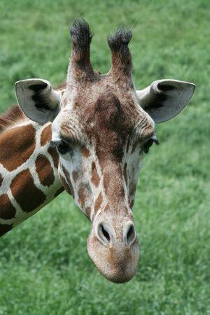 Close up view of a reticulated giraffe head