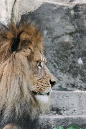 Side view of male African Lion