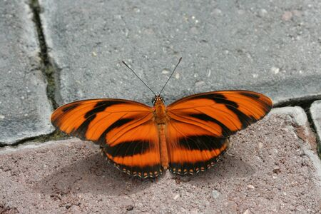 Banded Orange Longwing Butterfly (Dryadula Phaetusa) sitting on bricks.   Banco de Imagens