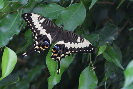 Emperor Swallowtail Butterfly resting on Ficus Leaves