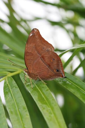 Autumn Leaf Butterfly resting on palm frond
