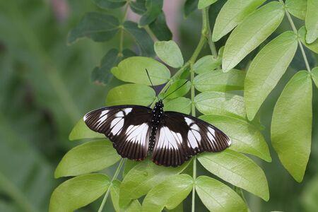False Diadem Butterfly wings spread sunning on leaves