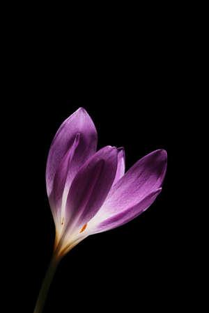 Colchicum is also known at Autumn Crocus or Meadow Saffron Reklamní fotografie