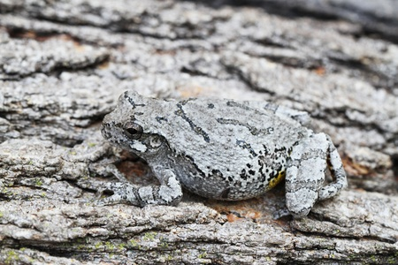Grey Treefrog camouflaged resting against tree trunk
