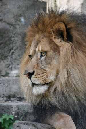 Male African Lion resting and keeping a watchful eye Banco de Imagens