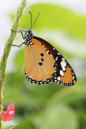 Plain Tiger Butterfly resting on plant stem