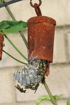 European PaperWasp building nest on rusty chime