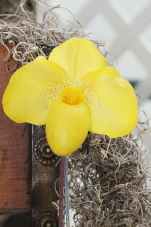 Bright Yellow Orchid against a rustic background