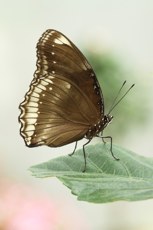 The Great Eggfly Butterfly resting on a leaf Banco de Imagens - 18371124
