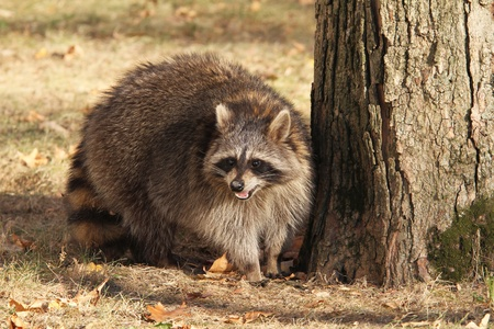 Large Raccoon standing next to a tree