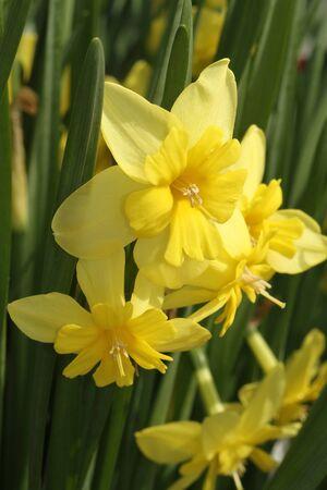 Yellow Tripartite Daffodils.