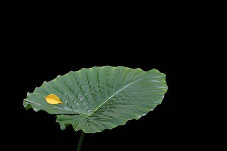 Elephant Ear Leaf and Ficus Leaf against a black background.