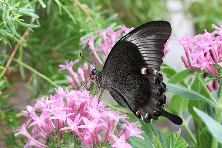 Emerald Peacock Butterfly sitting on delicate pink flowers.