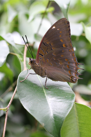 Beautiful Blue-spotted Charaxes Butterfly sitting on shiny Ficus leaves. Banco de Imagens