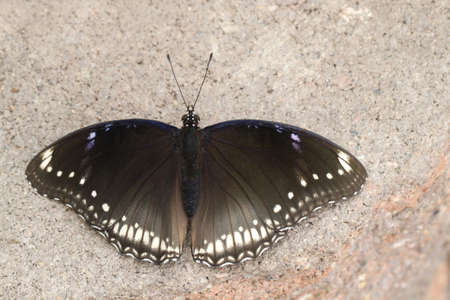 A female Great Eggfly Butterfly sunning on a brick.