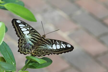 Green Clipper Butterfly poised and ready for flight.