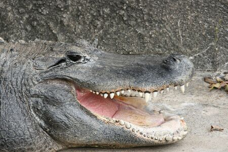 Close up view of an alligators mouth