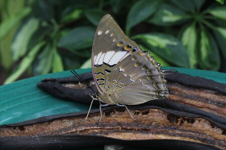 Beautiful Blue-Spotted Charaxes feeding on rotten bananas.