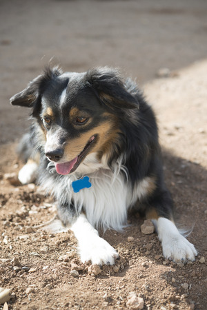 australian shepherd: dog breed Australian Shepherd
