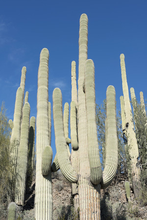 saguaro cactus: Saguaro cactus growing on the Sonoran desert in Arizona, a hot and arid climate. Saguaro Cactus is the largest cactus in the world, it surviving on less than nine inches of rain each year. Stock Photo