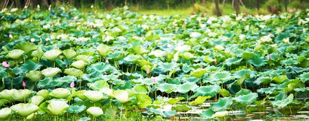 De knop van een lotusbloem. Achtergrond is het lotusblad en de lotusbloem en lotusbloemknop en -boom. Opnamelocatie is de Sankeien in Yokohama, Kanagawa Prefecture Japan.