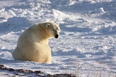Polar Bear in the Arctic Reacts to a Sound Banco de Imagens - 4181749