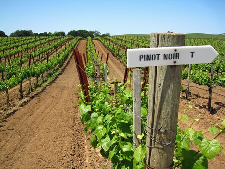sonoma:      Attractive vineyard in Northern Californias Napa Valley, with new spring growth on older vines                           Stock Photo