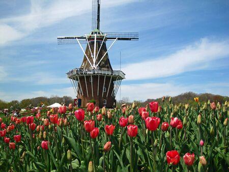 Aantrekkelijke wind molen en kleurrijke spring tulpen  Stockfoto