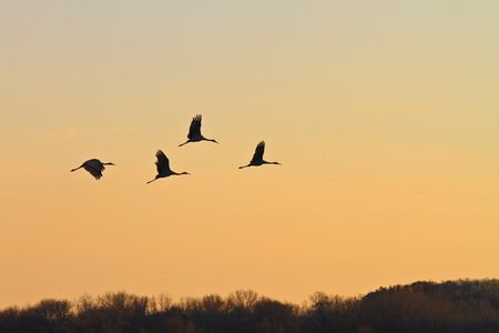 Silhouette od sandhill cranes flying at dusk