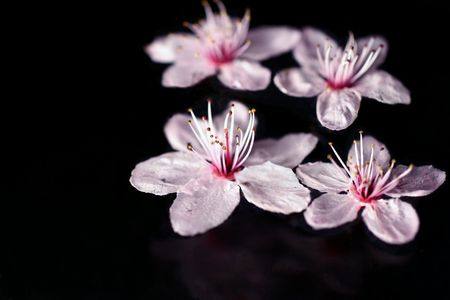 Cherry blossoms, close-up on water on black background Stock Photo