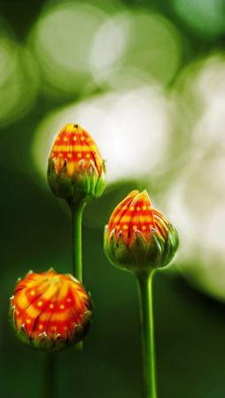 phantasy: Flower buds with fantasy pattern