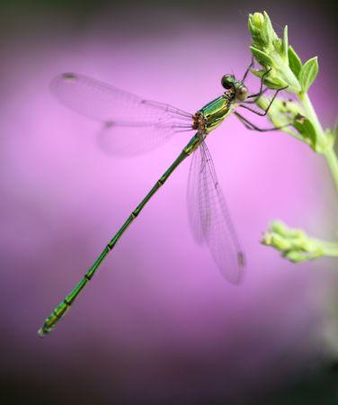macroshot: Small green dragonfly on flower-bud,macroshot