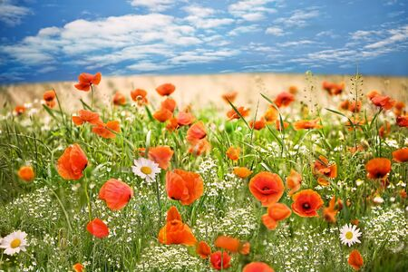 allover: Beautiful meadow with red poppies and small daisies allover