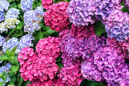 Colorful hydrangea bushes,outdoors Stock Photo