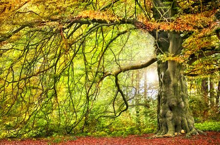 overhanging: Big autumnal tree with  overhanging branch
