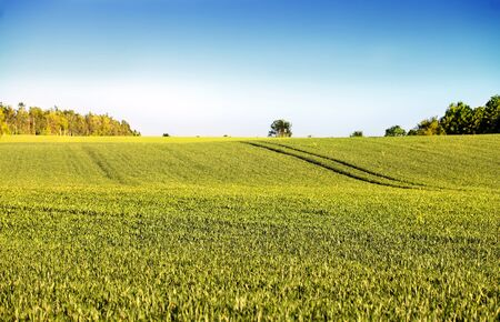 cropland: Green fields with young plants and a clear blue sky