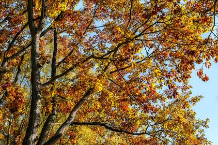 leafs: Big tree with autumnal leafs on blue sky Stock Photo
