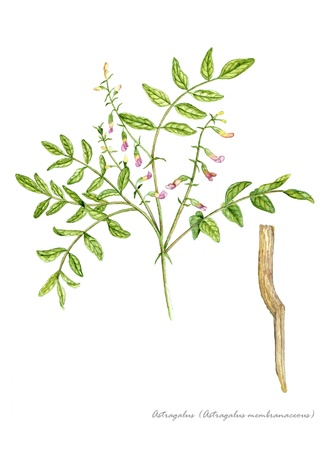 botanical remedy: Astragalus with detail of root