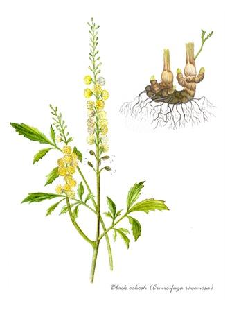 de hierbas: Cohosh negro con detalle de la ra�z