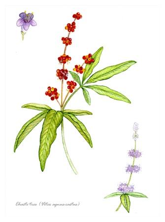 Kuis boom Vitex met detail van bloem en fruit