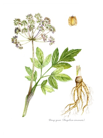 botanical remedy: Angelica with detail of root and seed