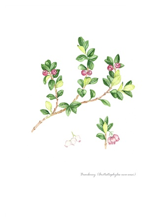 Bearberry with detail of flower and fruit Stock Photo