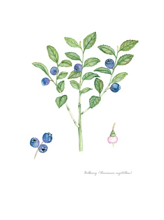 Bilberry with detail of flower and fruit