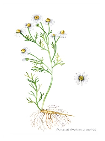 botanical remedy: Chamomile with detail of root and flower Stock Photo