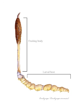 Cordyceps with detail of host caterpillar Imagens