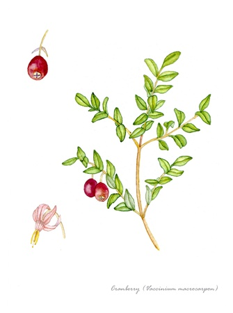 botanical drawing: Cranberry with detail of flower and fruit