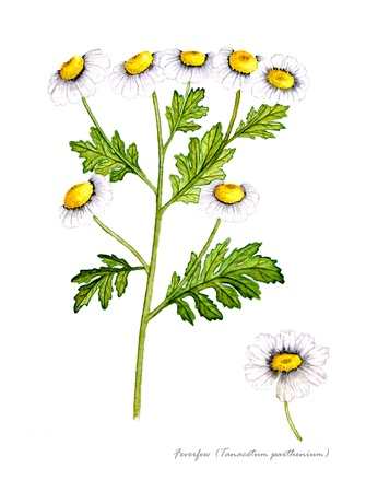 Feverfew with detail of flower