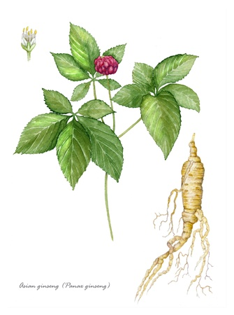 ginseng: American Ginseng with detail of flower and root