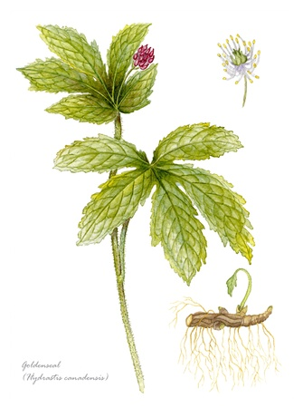 Goldenseal with detail of flower and root photo