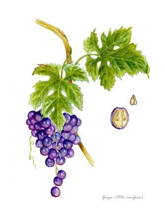 plantas medicinales: Uva con detalle de frutos y semillas